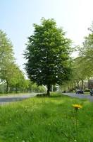Photo de l'arbre ballon au milieu de l'avenue du même nom
